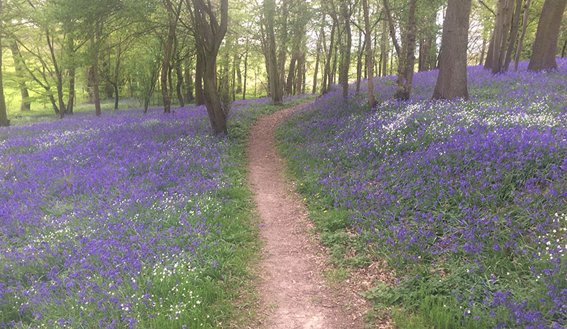 Head out on our Spring walk through the stunning bluebell wood